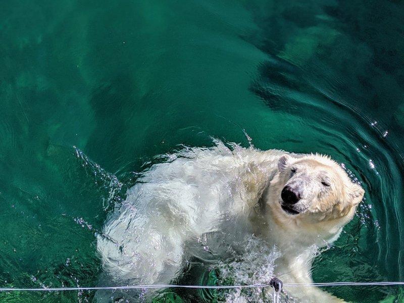 愛沙尼亞露天博物館|塔林動物園拜訪北極熊 18