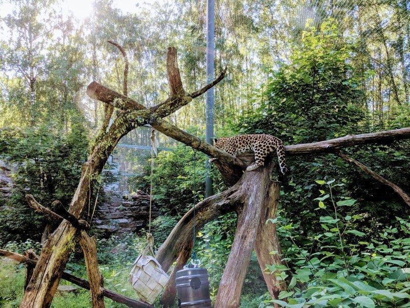 塔林動物園花豹